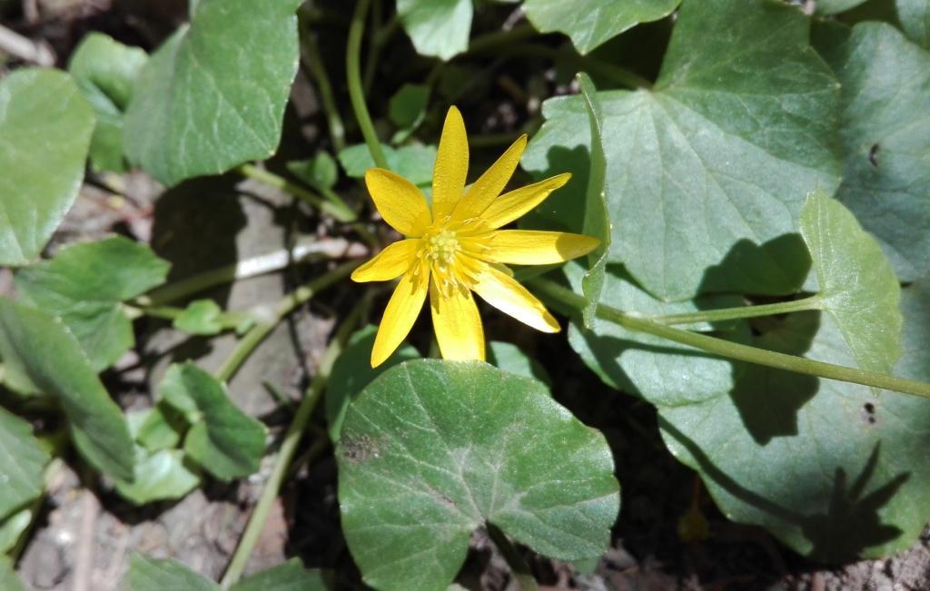 Scharbockskraut-Blüte