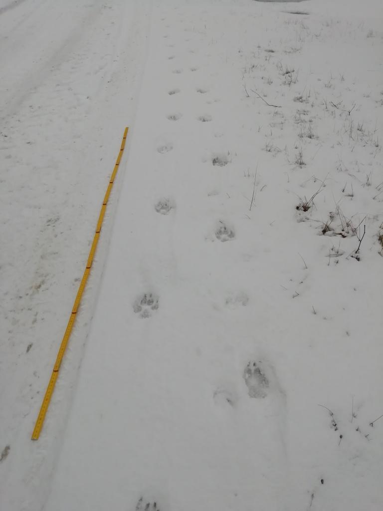 Parallellaufen zweier Wölfe im geschnürten Trab - Reicherskreuzer Heide, Februar 2019